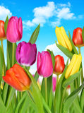 Purple, yellow and red tulip Royalty Free Stock Images