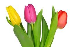 Purple, yellow and red tulip Stock Photo