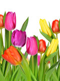 Purple, yellow and red tulip Stock Image