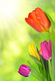 Purple, yellow and red tulip Stock Images