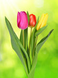Purple, yellow and red tulip Stock Photos