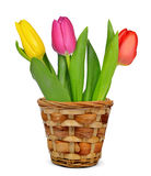 Purple, yellow and red tulip in pot Stock Image