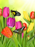 Purple, yellow and red tulips. With butterflies Royalty Free Stock Image