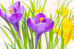 Purple and yellow spring crocuses close up Stock Image