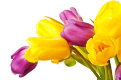 Purple and Yellow Spring Tulips Isolated Royalty Free Stock Photo