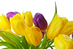 Purple and Yellow Spring Tulips Isolated Stock Photo