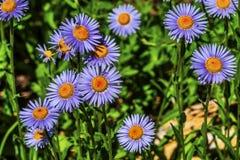 Purple Yellow Subalpine DaisIES Wildflower Mount Rainier Paradise royalty free stock image
