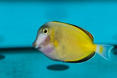 Purple and Yellow Tang Royalty Free Stock Photography