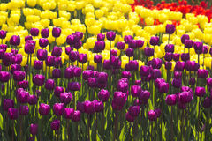 Purple and yellow tulip flower field blooming. Royalty Free Stock Photo