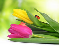 Purple and yellow tulip with ladybug Royalty Free Stock Photos