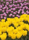 Purple and yellow tulips Stock Photo