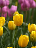 Purple and Yellow Tulips Stock Images