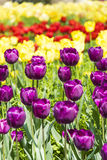 Purple and yellow tulips flowers Royalty Free Stock Photos