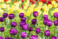 Purple and yellow tulips flowers Stock Image