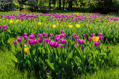 Purple and yellow tulips in the park Royalty Free Stock Photos