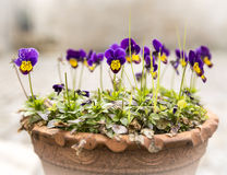 Purple and yellow Viola Pansy flowers Royalty Free Stock Photography