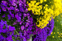 Purple and Yellow Wall Flower royalty free stock image