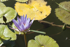 Purple and yellow water lilies Royalty Free Stock Images