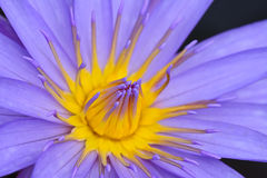 Purple yellow water lily on dark backdrop for abstract backgroun Royalty Free Stock Image