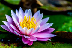 Purple and yellow water lily flower. A purple and yellow water lilywith a soft green background Stock Photos