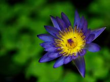 Purple and Yellow Waterlily Flower Stock Photography