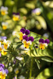 Purple, yellow and white Viola flower. Blooms in a botanical garden in Spring Royalty Free Stock Photo