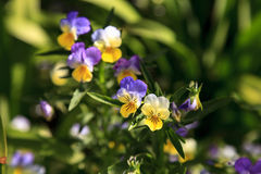 Purple, yellow and white Viola flower. Blooms in a botanical garden in Spring Stock Images