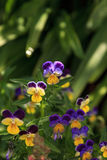 Purple, yellow and white Viola flower. Blooms in a botanical garden in Spring Royalty Free Stock Photos