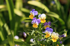 Purple, yellow and white Viola flower. Blooms in a botanical garden in Spring Royalty Free Stock Image