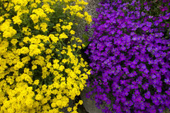 Purple and Yellow YinYang Flowers Stock Photos