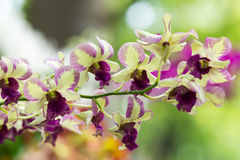 Purple and yelow Hybrid dendrobium orchid Stock Images