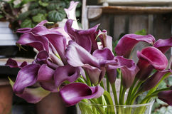 Purple zantedeschia. House party decoration Royalty Free Stock Images