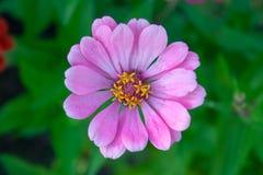 Purple zinnia flower. Beautiful purple zinnia flower close up top view background stock images