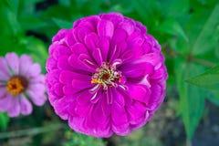 Purple zinnia flower. Beautiful purple zinnia flower close up top view background stock photography