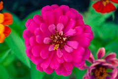 Purple zinnia flower. Beautiful purple zinnia flower close up top view background royalty free stock image