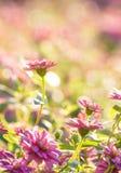 Purple zinnia flowers Stock Photo