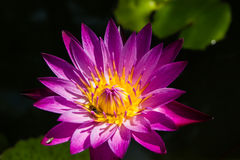 Purplecolor λουλουδιών Lotus Στοκ φωτογραφίες με δικαίωμα ελεύθερης χρήσης