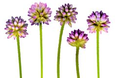 PurpleFlowerHead Royalty-vrije Stock Foto's