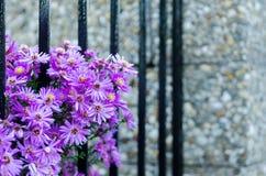 Purplel aster Royaltyfri Fotografi