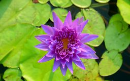 Purplel otus flower in pool Stock Photography