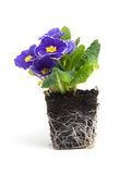 Purplel primula flower in garden soil Royalty Free Stock Image