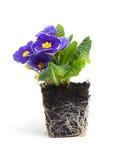 Purplel primula flower in garden soil Royalty Free Stock Image