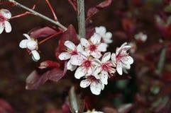 Purpleleaf Sand Cherry blossoms Macro stock image