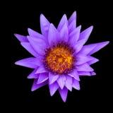 PurpleLotus odizolowywał Fotografia Royalty Free