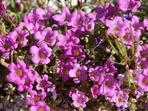 Purplemat - Nama demissum Royalty Free Stock Image