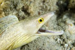 Purplemouth Moray Eel-Gymnothorax vicinus. Spotted Moray Eel-Gymnothorax vicinus, picture taken in south east Florida Stock Image