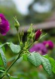 purplen steg Arkivbild