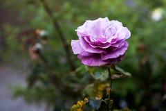 purplen steg Arkivfoto
