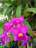 Purpleorchid Zdjęcie Royalty Free