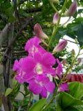 Purpleorchid Zdjęcia Stock